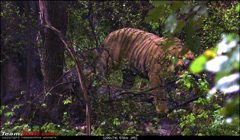 Sariska Tiger Reserve - Land of Tigers? Quick getaway from Gurgaon-tiger-coming-out-thicket.jpg