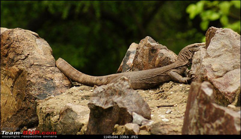 Sariska Tiger Reserve - Land of Tigers? Quick getaway from Gurgaon-monitor-lizard4.jpg