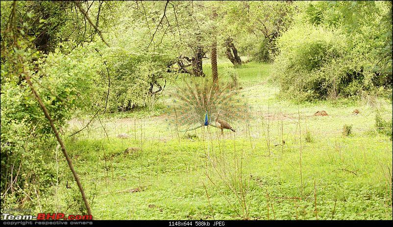 Sariska Tiger Reserve - Land of Tigers? Quick getaway from Gurgaon-peacock-dancing.jpg