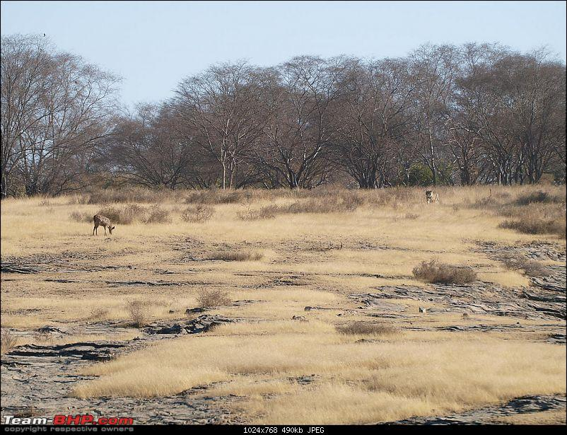 Gurgaon - Ranthambhore - Jodhpur - Gurgaon: Big Cats call again..!-tiger-looking-deer.jpg