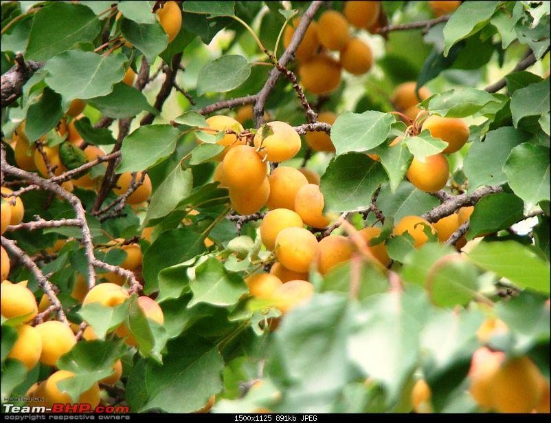 Ladakh: A sojourn to the roof of the world�over 21 days and 6500kms!!-d7-21-alchi-gompa-apricots.jpg