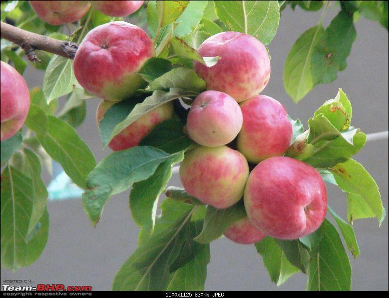 Ladakh: A sojourn to the roof of the world�over 21 days and 6500kms!!-d7-22-alchi-gompa-apples.jpg