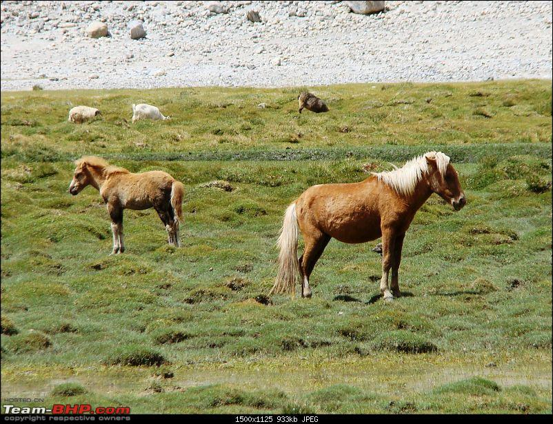 Ladakh: A sojourn to the roof of the world…over 21 days and 6500kms!!-d9-8-enroute-pangong-tso-wild-horses.jpg