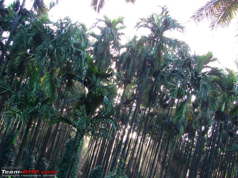 Name:  Arecanut.JPG
