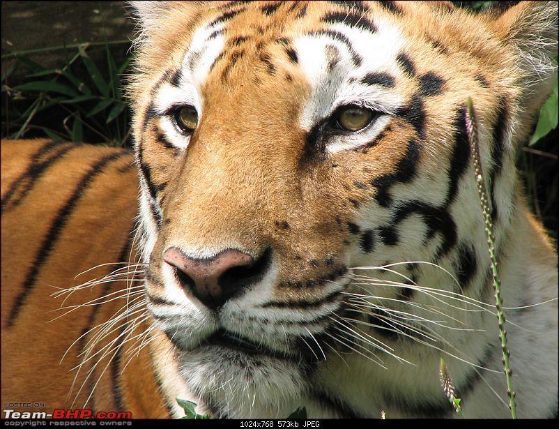 One day trips - Visiting Bannerghatta Zoo & Safari.-tiger.jpg