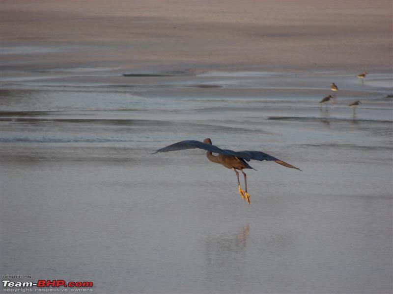 Name:  66 Flying Cormorant.JPG Views: 15408 Size:  43.1 KB
