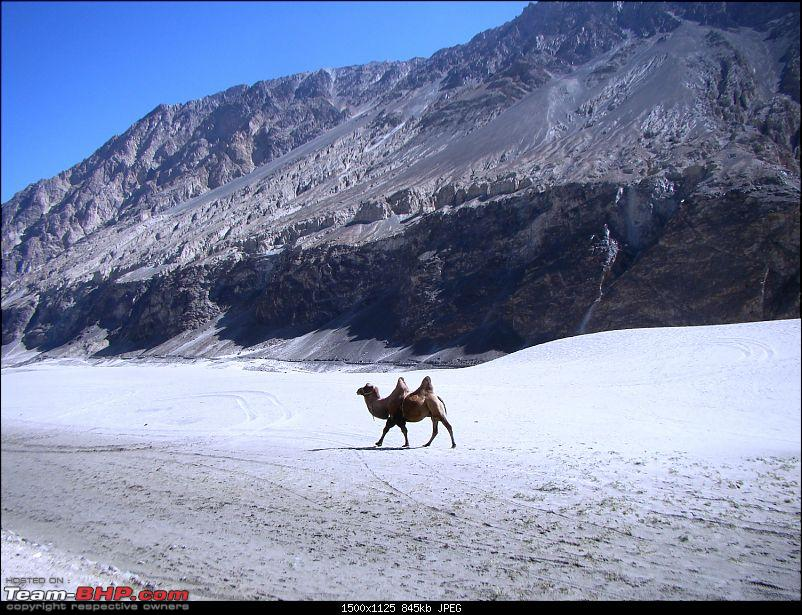 Ladakh: A sojourn to the roof of the world�over 21 days and 6500kms!!-d11-13-hunder-bactrian-camel.jpg