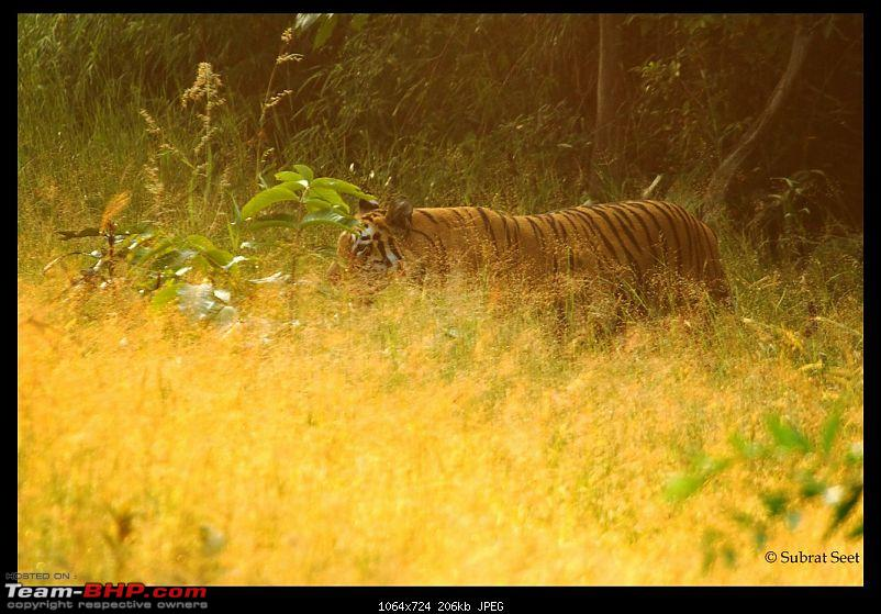 Beginning of a Brand New Season at Tadoba Andhari Tiger Reserve with Grand Sightings-telia-female-oct-2011316-copy-.jpg