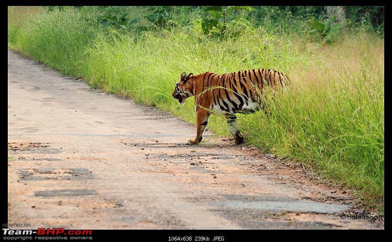 Beginning of a Brand New Season at Tadoba Andhari Tiger Reserve with Grand Sightings-telia-female-tadoba-oct-201145-copy-.jpg