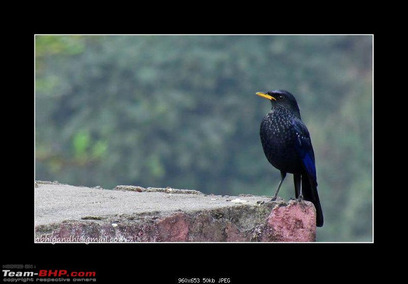 Himalayan Eco-system at Chakrata in Uttarakhand-blue-whistling-thrush.jpg