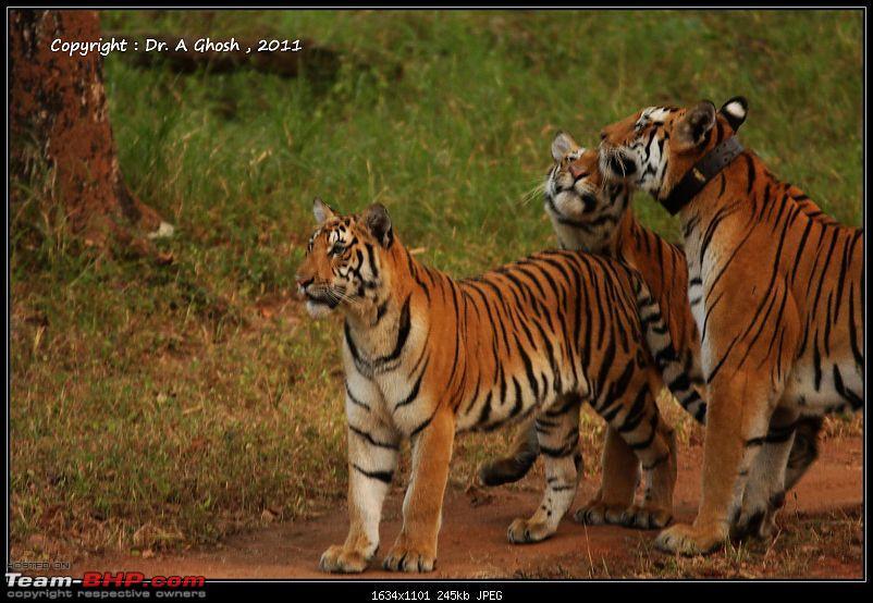 Season 2011-2012 : Independent Tiger monitoring at Pench & Tadoba Tiger reserves-img_7972.jpg