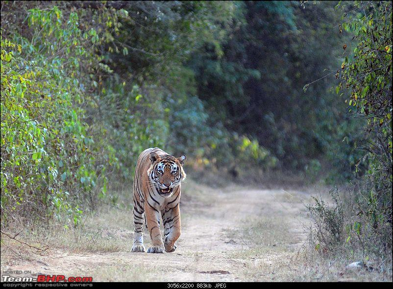 Gurgaon - Sariska - Gurgaon - Phew...Finally sighted one of the Tiger Cubs of ST2-5328.jpg