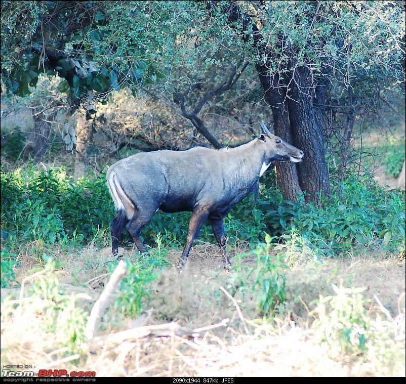 Gurgaon - Sariska - Gurgaon - Phew...Finally sighted one of the Tiger Cubs of ST2-random4.jpg