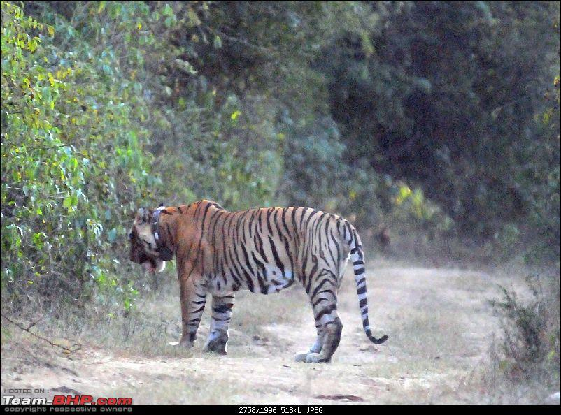 Gurgaon - Sariska - Gurgaon - Phew...Finally sighted one of the Tiger Cubs of ST2-5320.jpg