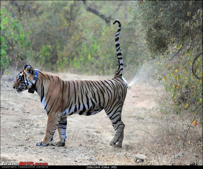 Gurgaon - Sariska - Gurgaon - Phew...Finally sighted one of the Tiger Cubs of ST2-5402.jpg