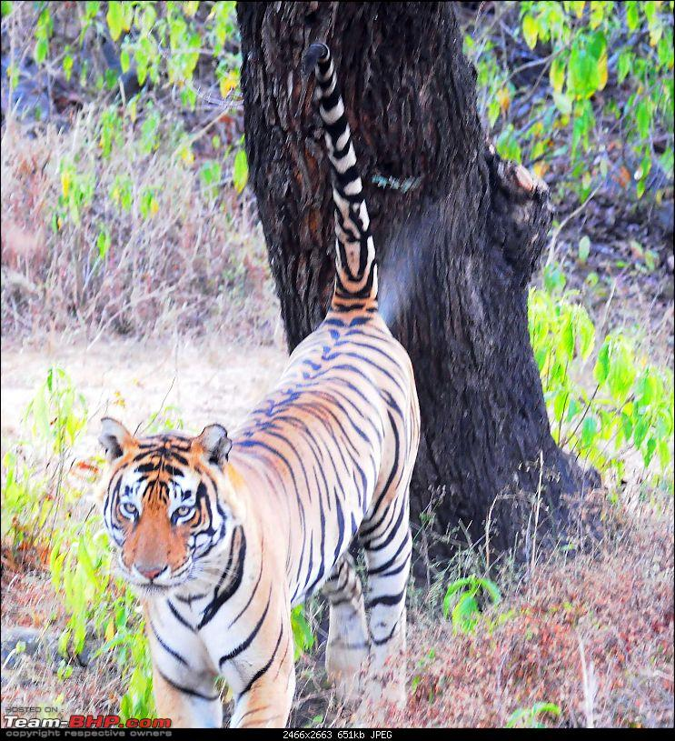 Gurgaon - Sariska - Gurgaon - Phew...Finally sighted one of the Tiger Cubs of ST2-5418.jpg