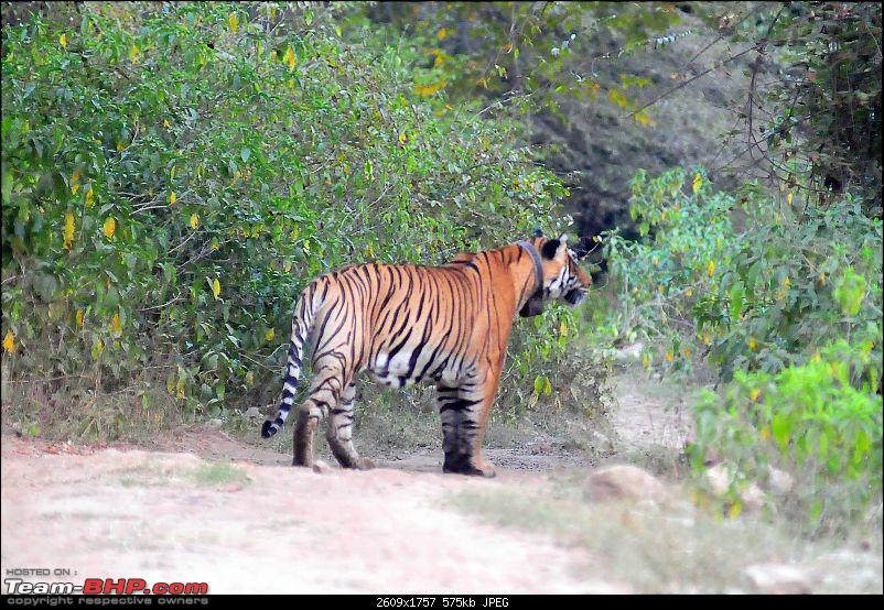 Gurgaon - Sariska - Gurgaon - Phew...Finally sighted one of the Tiger Cubs of ST2-5484.jpg