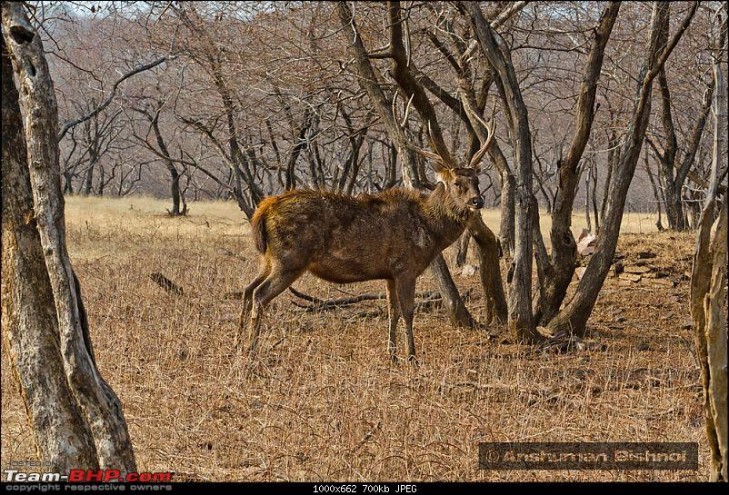 Ranthambore National Park: A Quick Travelogue-dsc_3564acr.jpg
