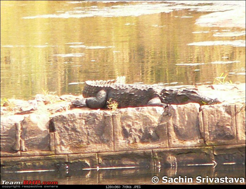 Ranthambhore National Park - Tigers and More!-crocodile3.jpg