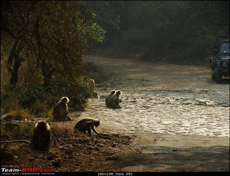 Hawk-On-Fours® (H-4®) Roadtrip: Ranthambhore & Sariska, then Bharatpur-dsc06735k300.jpg