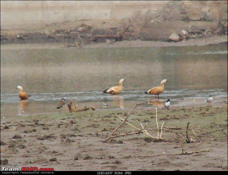 Hawk-On-Fours® (H-4®) Roadtrip: Ranthambhore & Sariska, then Bharatpur-dsc06925k300.jpg