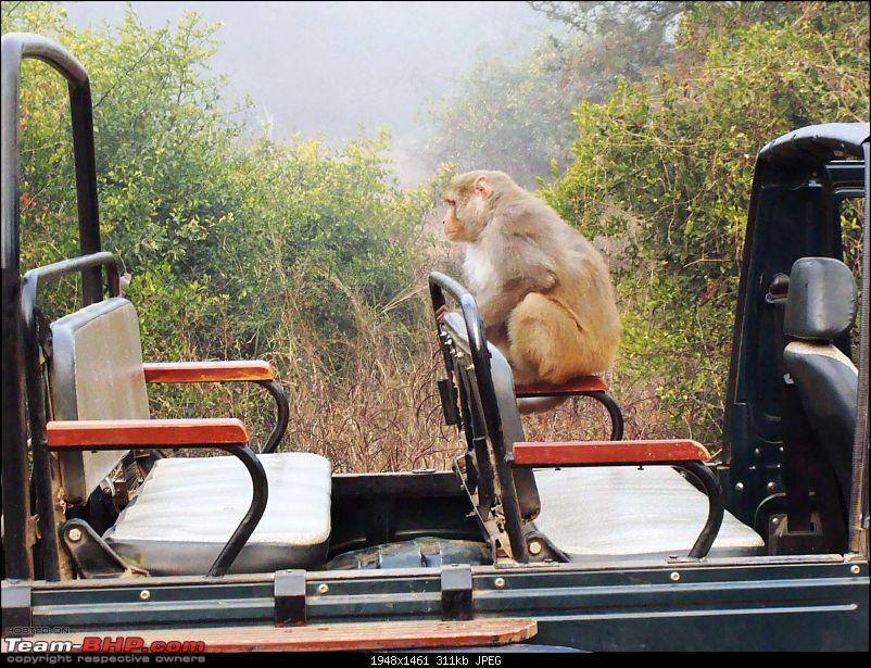 Hawk-On-Fours® (H-4®) Roadtrip: Ranthambhore & Sariska, then Bharatpur-dsc06993k300.jpg