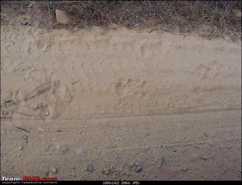 Hawk-On-Fours® (H-4®) Roadtrip: Ranthambhore & Sariska, then Bharatpur-dsc07014k300.jpg
