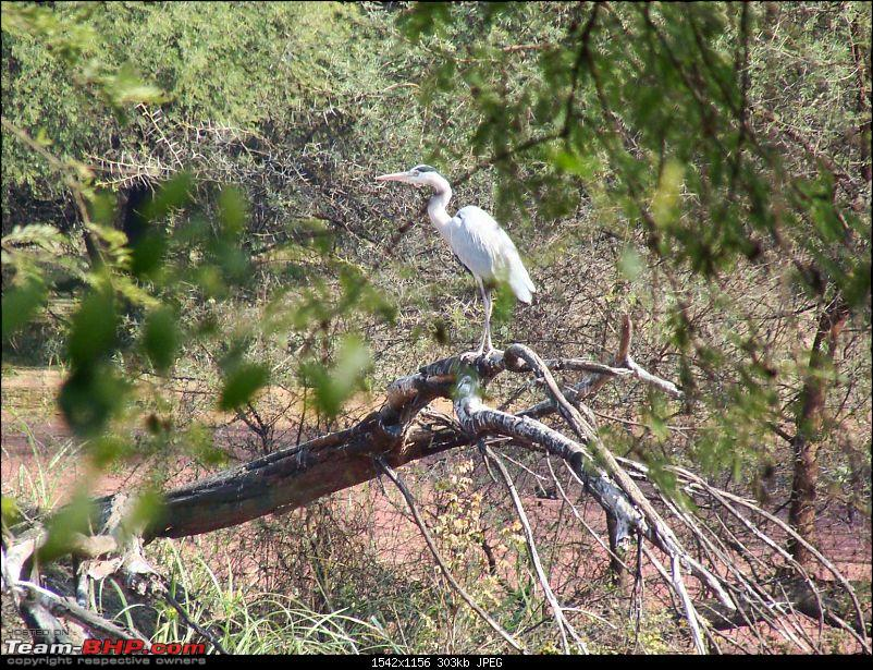 Hawk-On-Fours® (H-4®) Roadtrip: Ranthambhore & Sariska, then Bharatpur-bharatpur-20120122-108k300.jpg