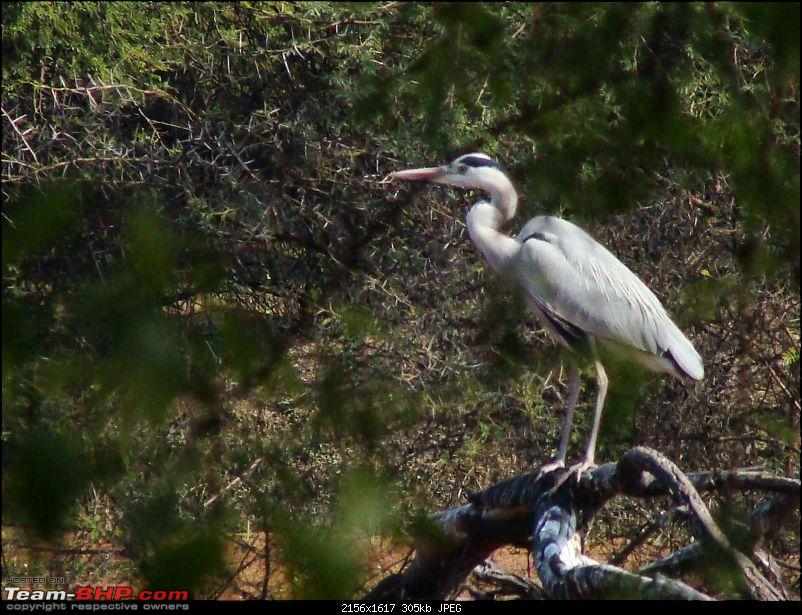 Hawk-On-Fours® (H-4®) Roadtrip: Ranthambhore & Sariska, then Bharatpur-bharatpur-20120122-109k300.jpg