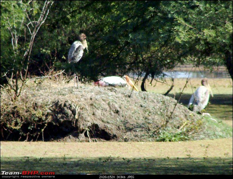 Hawk-On-Fours® (H-4®) Roadtrip: Ranthambhore & Sariska, then Bharatpur-bharatpur-20120122-74k300.jpg