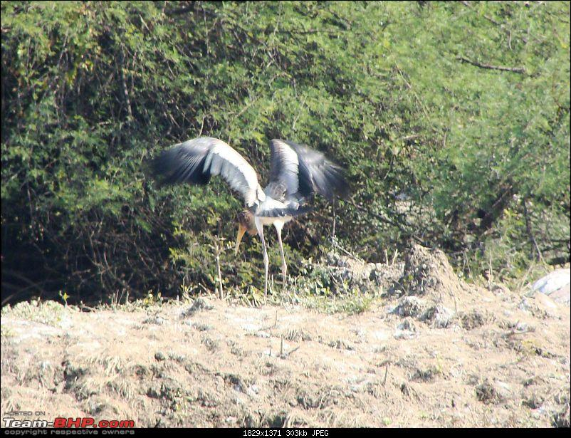 Hawk-On-Fours® (H-4®) Roadtrip: Ranthambhore & Sariska, then Bharatpur-bharatpur-20120122-78k300.jpg