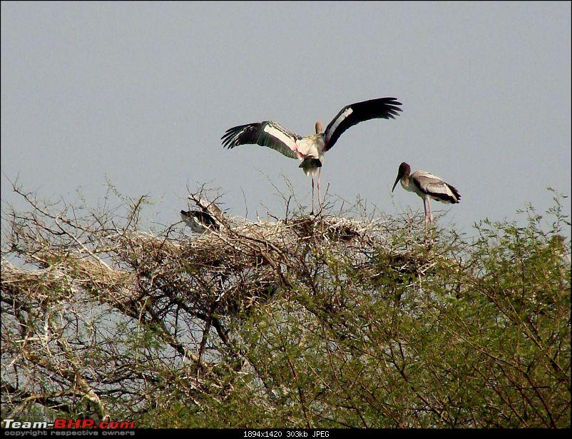 Hawk-On-Fours® (H-4®) Roadtrip: Ranthambhore & Sariska, then Bharatpur-bharatpur-20120122-79k300.jpg