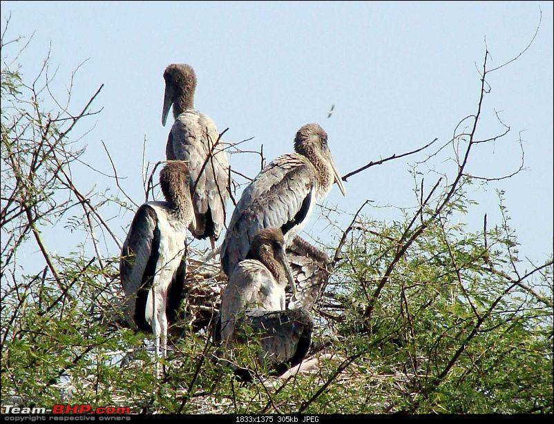 Hawk-On-Fours® (H-4®) Roadtrip: Ranthambhore & Sariska, then Bharatpur-bharatpur-20120122-82k300.jpg