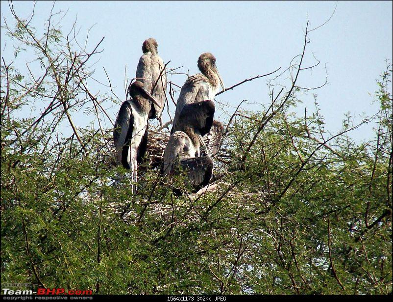 Hawk-On-Fours® (H-4®) Roadtrip: Ranthambhore & Sariska, then Bharatpur-bharatpur-20120122-83k300.jpg