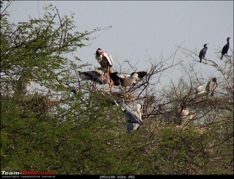 Hawk-On-Fours® (H-4®) Roadtrip: Ranthambhore & Sariska, then Bharatpur-bharatpur-20120122-84k300.jpg