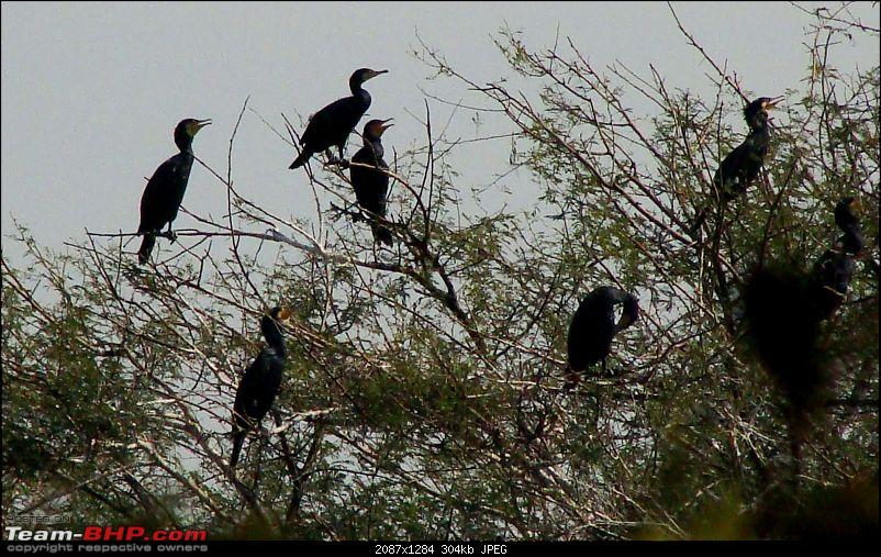 Hawk-On-Fours® (H-4®) Roadtrip: Ranthambhore & Sariska, then Bharatpur-bharatpur-20120122-80k300.jpg