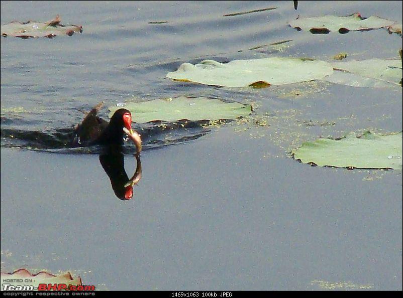 Hawk-On-Fours® (H-4®) Roadtrip: Ranthambhore & Sariska, then Bharatpur-dalbirds-10.jpg