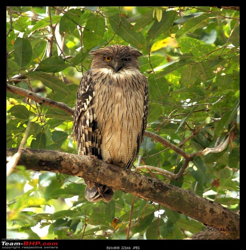 Bandhavgarh - A Different Perspective-fish-owl-feb-201252-copy.jpg
