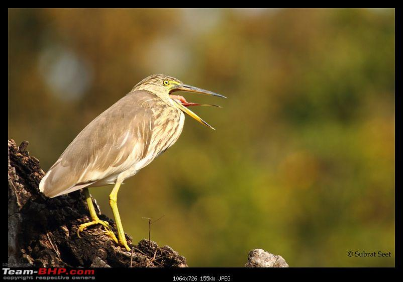 Bandhavgarh - A Different Perspective-pond-heron93-copy.jpg