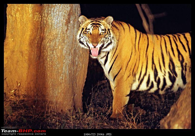 Bandhavgarh - A Different Perspective-chorbehra-male-tig-feb-2012105-copy.jpg