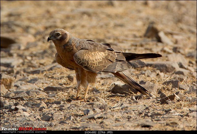 Khushboo Gujarat Ki - A road trip to the birding paradise-velavadar-13.jpg