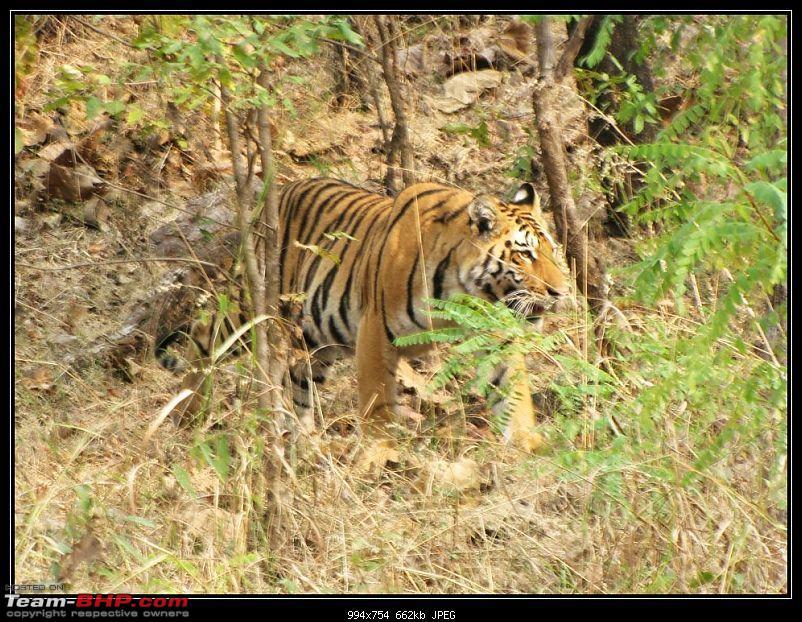Season 2011-2012 : Independent Tiger monitoring at Pench & Tadoba Tiger reserves-3.jpg