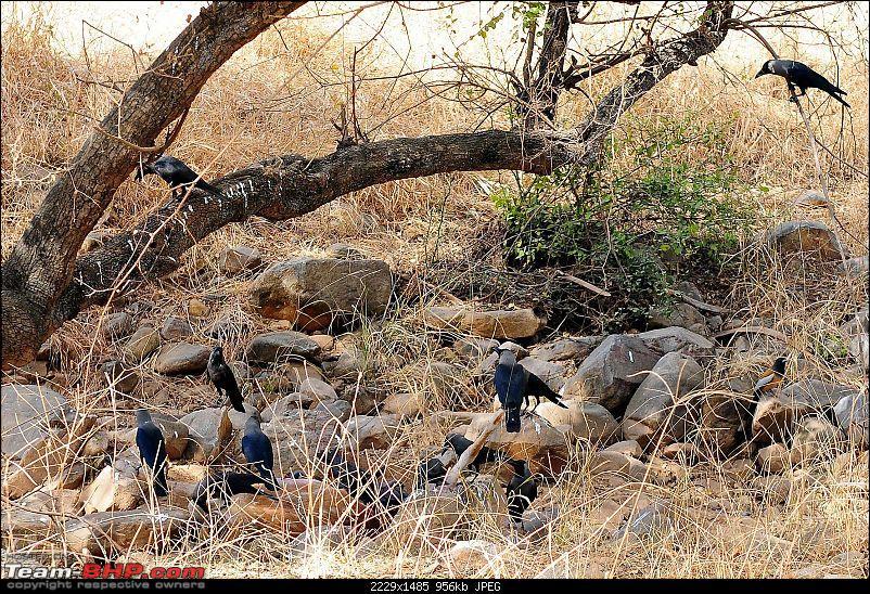Gurgaon - Sariska - Gurgaon - Phew...Finally sighted one of the Tiger Cubs of ST2-5983.jpg