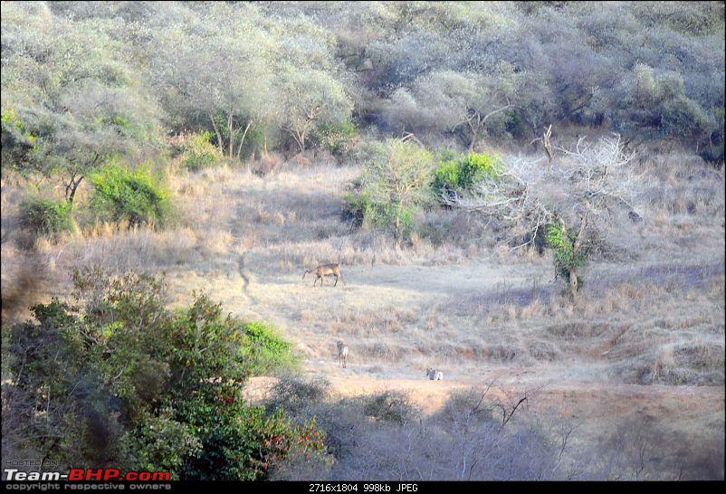 Gurgaon - Sariska - Gurgaon - Phew...Finally sighted one of the Tiger Cubs of ST2-6058.jpg
