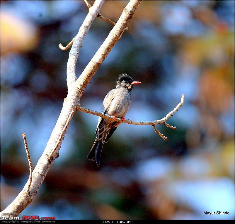 Birding at Sattal, Pangoot, Vinayak and Corbett.-blackbulbul.jpg