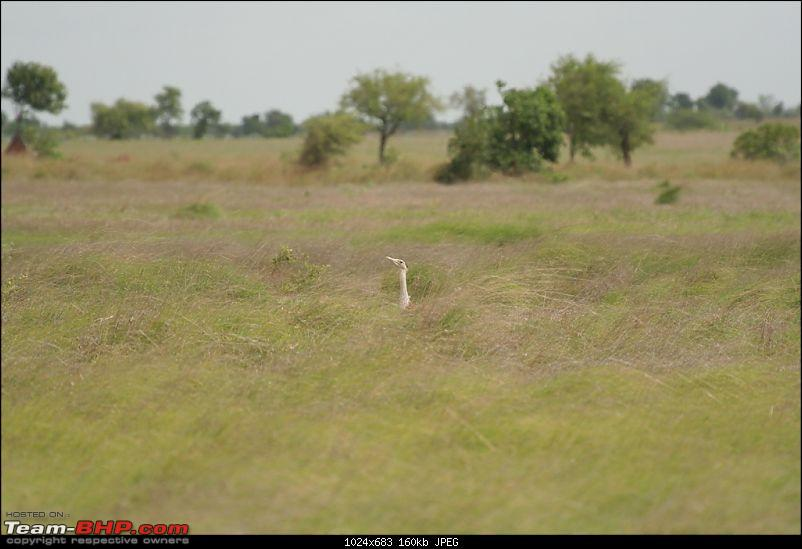 The Great Indian Bustard and the grass lands of Rollapadu.-1.jpg