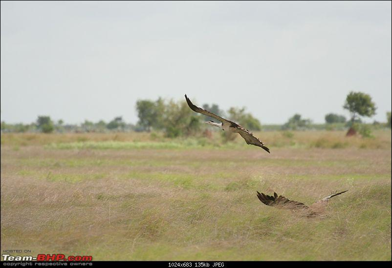 The Great Indian Bustard and the grass lands of Rollapadu.-2.jpg