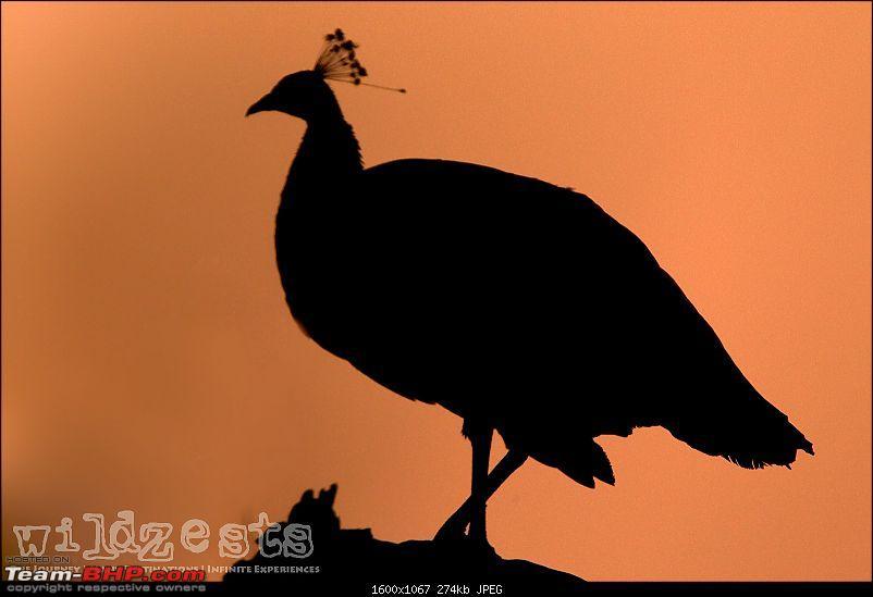 Bengalooru to Bharatpur - A solo birding trip!-bharatpur-087.jpg