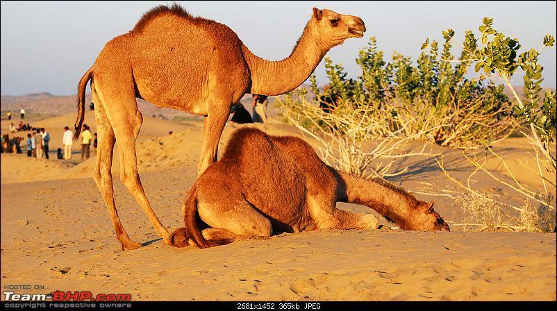 Gurgaon - Jaisalmer - Jodhpur - Bikaner - Gurgaon-camels.jpg