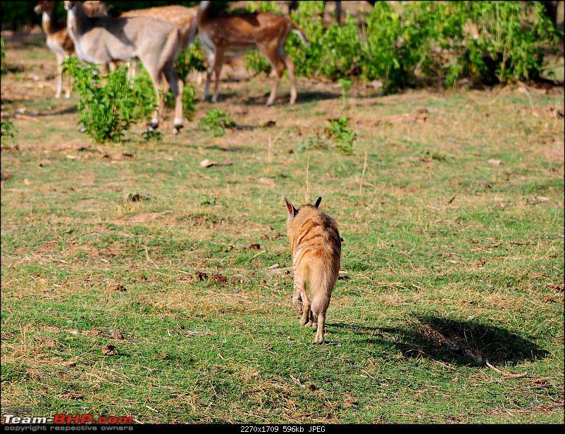 Gurgaon - Sariska - Gurgaon - Phew...Finally sighted one of the Tiger Cubs of ST2-6209.jpg